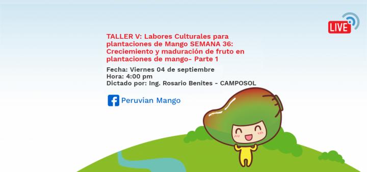 TALLER V: Labores Culturales para plantaciones de Mango SEMANA 36: Creciemiento y maduración de fruto en plantaciones de mango- Parte 1